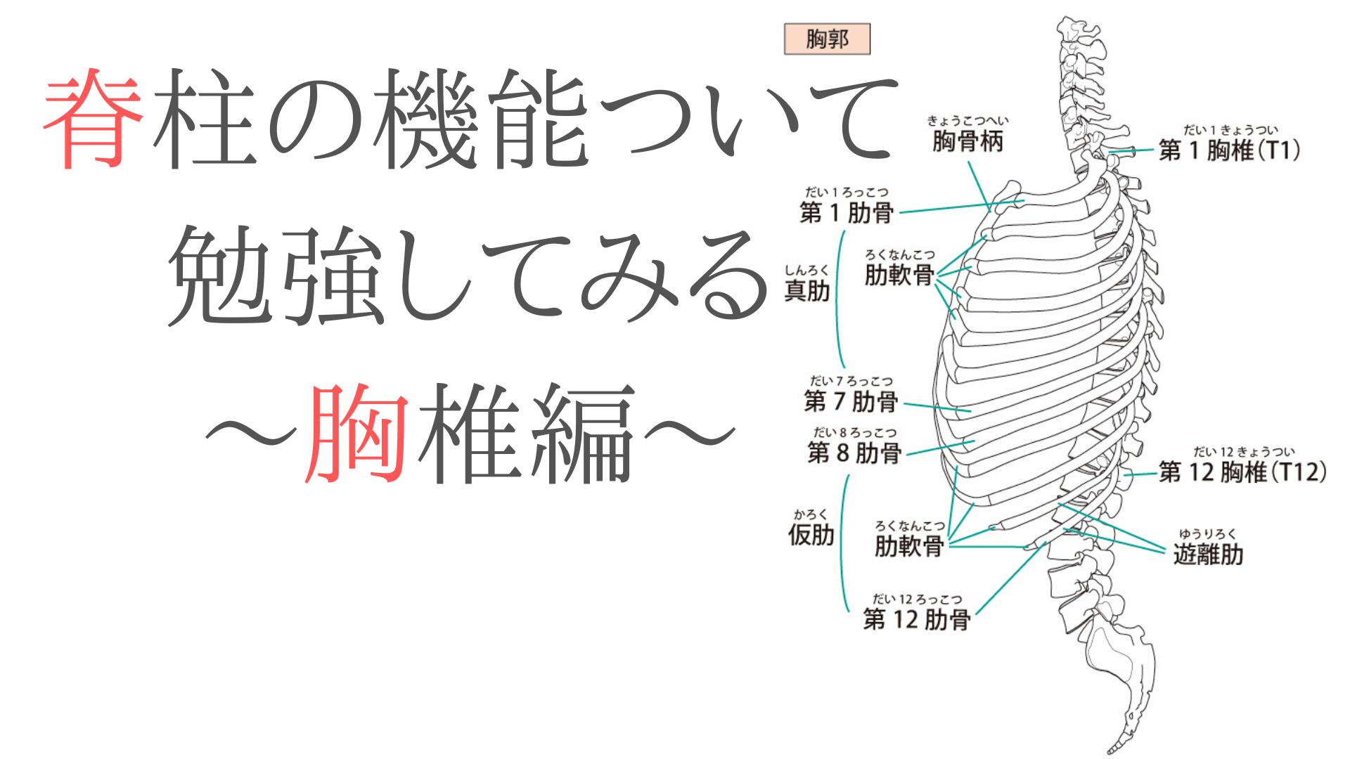 脊柱の機能ついて勉強してみる〜胸椎編〜